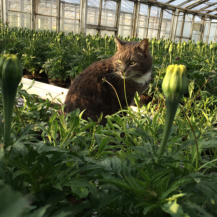 krukväxtodling katt tagetes chokladblomma växthus